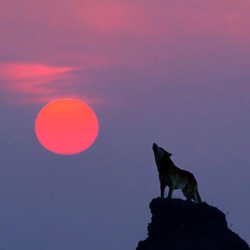sweet-wolf